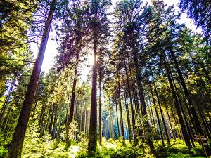 Fichten im Harz