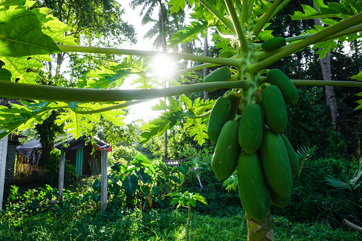 Malaysia, Cherating, Dschungel, Papaya