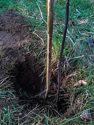 Earth Day 2015 - So wird ein Baum gepflanzt